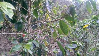 die Erntezeit ist bereits vorüber, aber eine reife rote Kaffeebohne ist zu erkennen