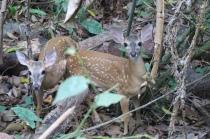 zwei Bambis