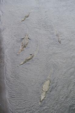 Krokodil fotografiert von der Krokodil-Brücke