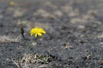 Vulkan-Blume