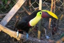 eine Nahaufnahme vom Tukan, dieser lebt in Gefangenschaft, kehrt aber immer wieder zurück, wenn er freigelassen wird