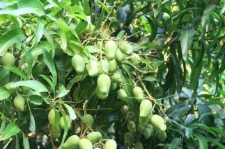 hier gibt es viele Mangobäume und andere Früchte
