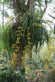 diese Orchidee wächst am Baum