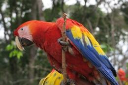 ein roter Ara, der Nationalvogel von Honduras
