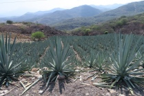 """Agaven werden gepflanzt für den mexikanischen Schnaps """"Mezcal"""""""