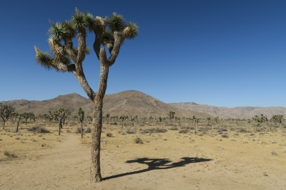 der Baum, der dem Nationalpark den Namen gibt