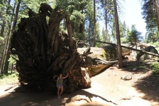 ein über 2500 Jahre alter Baum mit riesigen Wurzeln