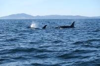 Orkas schwammen direkt neben dem Boot