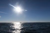 ein Buckelwal beim Abtauchen