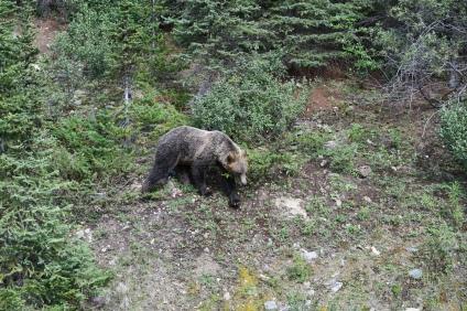 die Bären sind sehr schnell und wendig