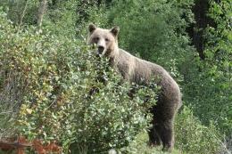 ein Grizzly aus 3 Meter Distanz