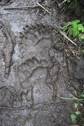 Bärenspuren sehen wir auf unserer Wanderung