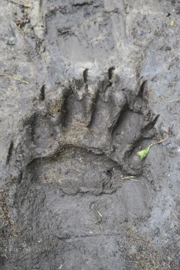 eine Tatze von einem Grizzly Bär
