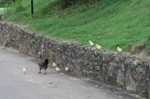 Den Hühner in Kuba geht es sehr gut, die spazieren überall rum